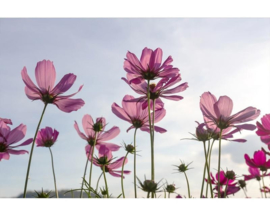 Fotobehang Kosmos bloemen