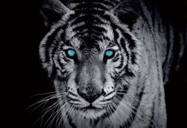 Fotobehang Black And White Tiger