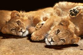 Fotobehang Jonge leeuwen