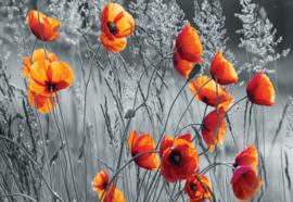 Fotobehang Oranje Papavers