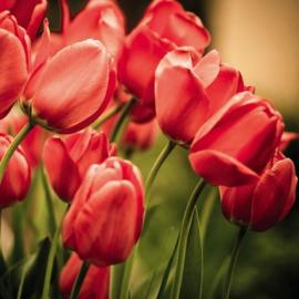 Fotobehang Rode tulpen