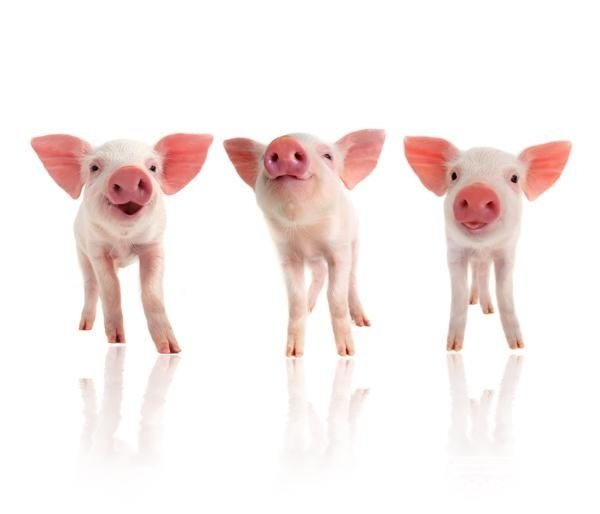 Fotobehang Noordwand Farm life 3750058 Piglets