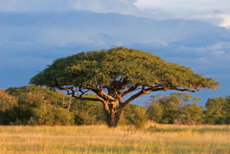 Fotobehang Acacia boom