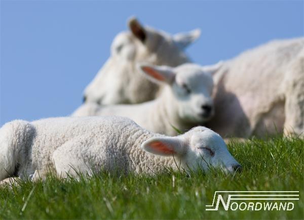 Fotobehang Noordwand Farm life 3750014 123sheep