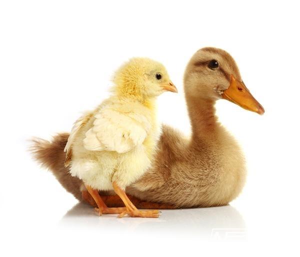 Fotobehang Noordwand Farm life 3750047 Ducks