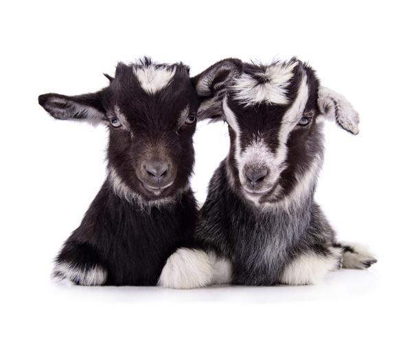 Fotobehang Noordwand Farm life 3750046 Goats