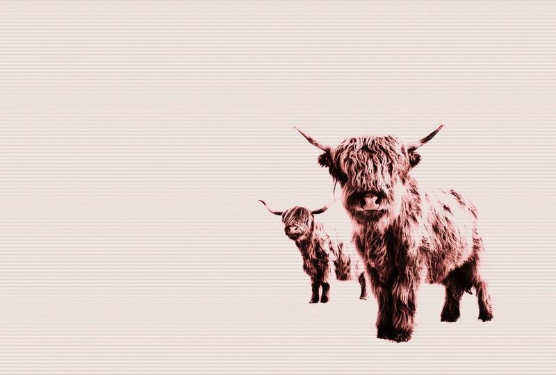 Fotowand Highland cows  by Monica Strigel afm. 400cm x 270cm hoog