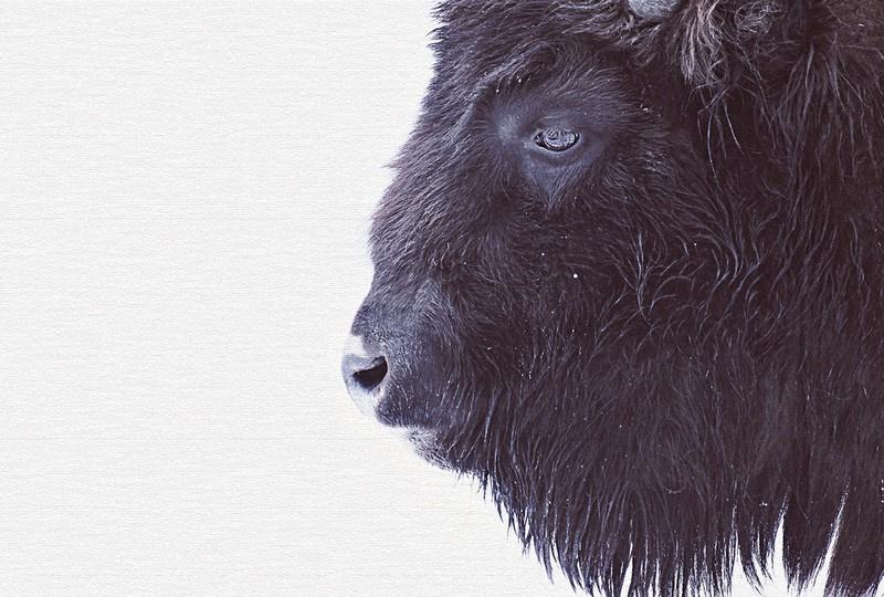 Fotowand Black buffalo by Monica Strigel afm. 400cm x 270cm hoog