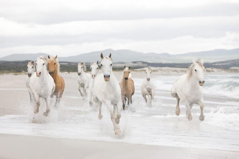 Komar 8-986 White Horses 368cm x 254cm hoog