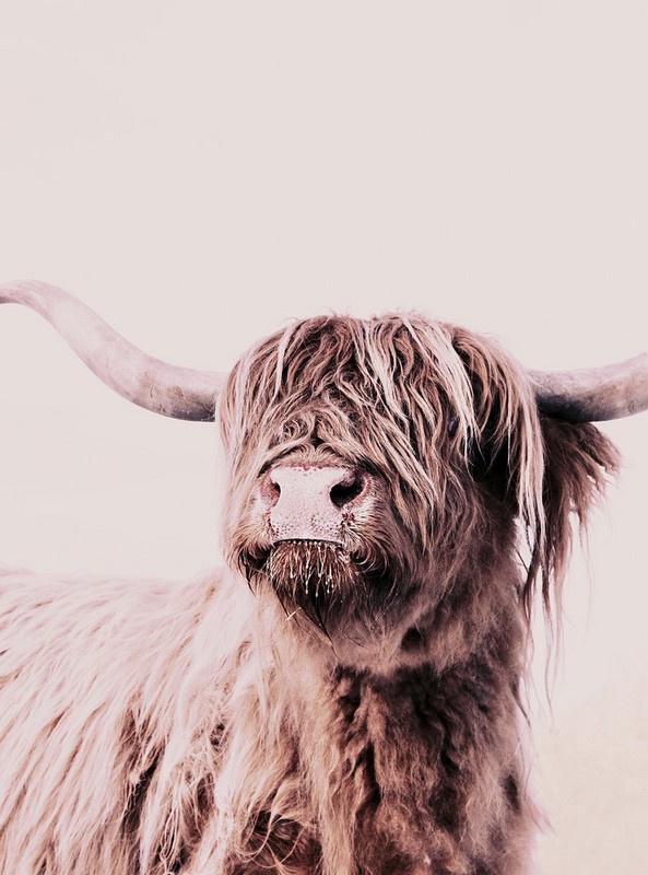 Fotowand Highland cattle 1 by Monika Strigel afm. 200cm x 270cm hoog