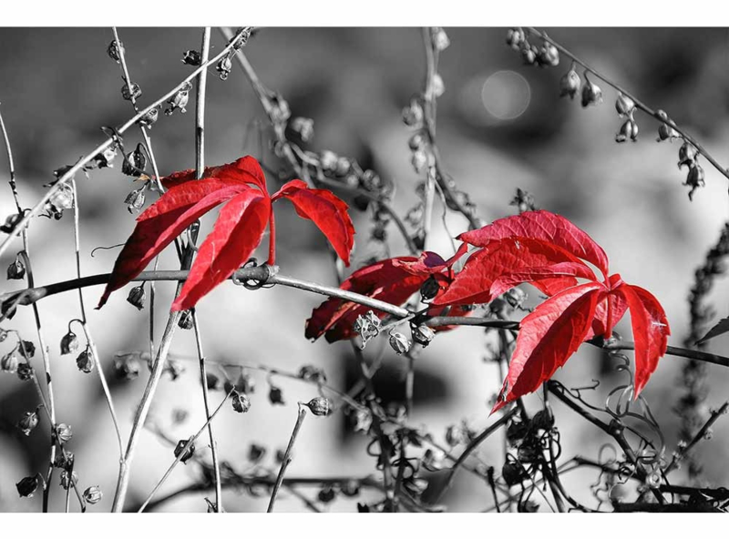 Fotobehang Rode bladeren op zwart