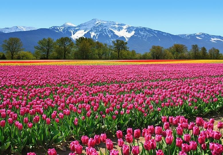 Fotobehang Idealdecor 00137 Tulips
