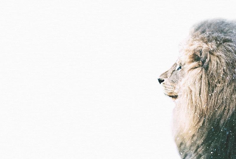 Fotowand Lion in snow by Monica Strigel afm. 400cm x 270cm hoog
