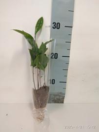 Theeplant, Camellia sinensis verpakt. per 40 stuks