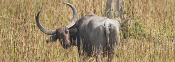 Verantwoord verkregen leder van runderen uit India