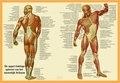 Poster Spieren Anatomie