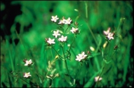 CENTAURY (Duizendguldenkruid / Centaurium umbellatum) 20 ml