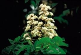 WHITE CHESTNUT (Paardenkastanje / Aesculus hippocastanum) 20 ml