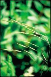 WILD OAT (Ruwe Dravik / Bromus Ramosus) 20 ml