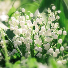 Aquarupella - QMD16319 - MUGUET