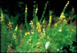 AGRIMONY (Agrimonie/Agrimony eupatoria) 20 ml