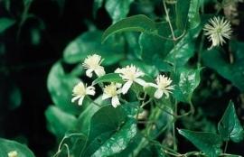 CLEMATIS (Bosrank / Clematis vitalba) 20 ml