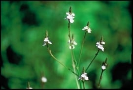 VERVAIN (IJzerhard / Verbena officinalis) 20 ml