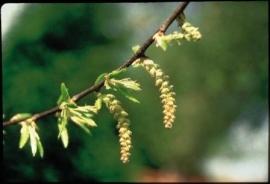 HORNBEAM (Haagbeuk / Caprinus Betulus) 20 ml
