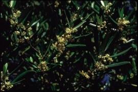 OLIVE (Olijf / Olea europaca) 20 ml