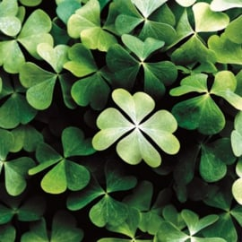 Aquarupella - QMD096 - LUCKY CLOVER