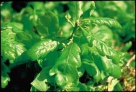 OAK (Zomer Eik / Quercus robur) 20 ml