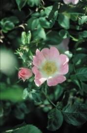 WILD ROSE (Hondsroos / Rosa Canina) 20 ml