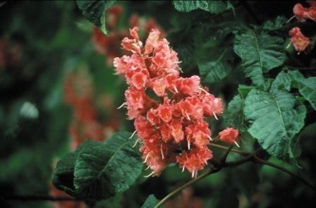 RED CHESTNUT (Rode Kastanjebloem / Aesculus carnea) 20 ml