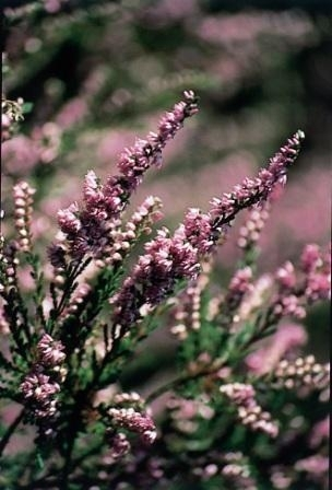 HEATHER (Struikheide / Calluna vulgaris) 20 ml