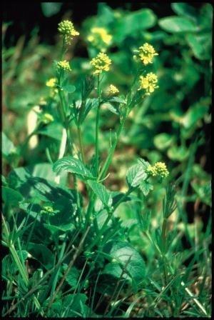 MUSTARD (Herik / Sinapis arvensis) 20 ml