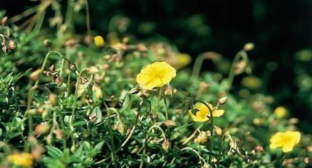 ROCK ROSE (Zonneroosje / Helianthemum nummularium) 20 ml