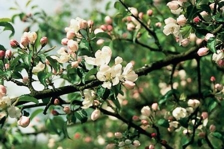 CRAB APPLE (Appel / Malus pumila) 20 ml