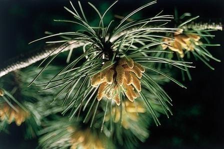 PINE (Grove Den / Pinus sylvestris) 20 ml