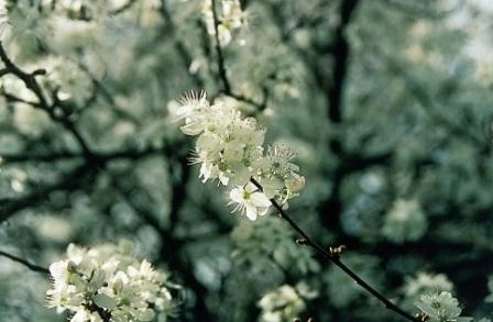 CHERRY PLUM (Kerspruim / Prunus cerasifera) 20 ml