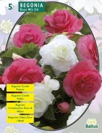 Begonia Roze en Wit