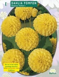 Dahlia Pompon Deepest Yellow