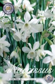 Narcis Mini Thalia