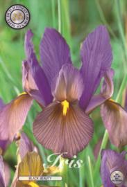 Iris Hollandica Black Beauty
