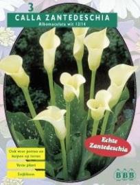 Calla Zanthedeschia White
