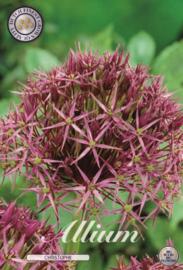 Allium Albopilosum Christophii