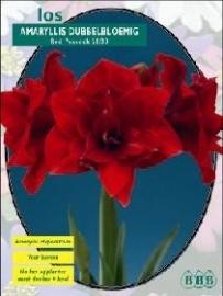 Amaryllis Nympf Rot