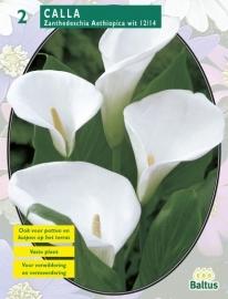 Calla Zanthedeschia Aethiopica White