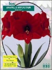 Amaryllis Hippeastrum Rot