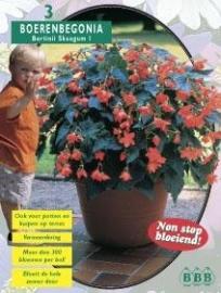 Begonia Bertinii Skaugum