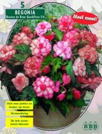 Begonia Doubleflowered Bouton de Rose